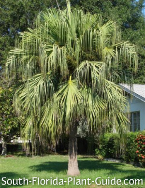 Mature palm with trunk