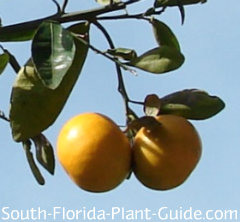 Sunburst tangerine ripening on the tree