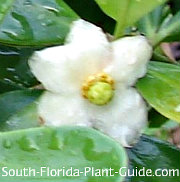 dwarf clusia flower