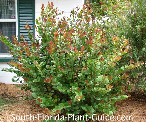 Shrub with reddish new growth at the corner of a home