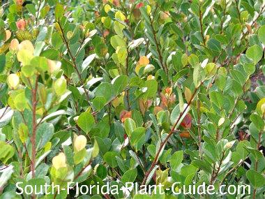 Cocoplum leaf detail