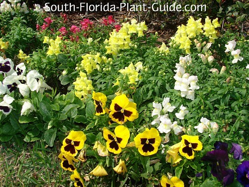 South Florida Annuals