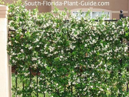 confederate jasmine in fill bloom