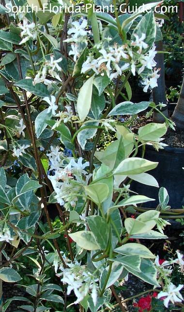 variegated variety