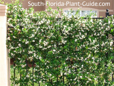 Confederate jasmine flowering on a fence