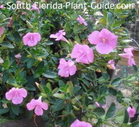 Pink flowering variety