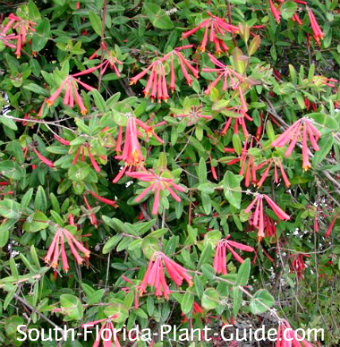 coral honeysuckle in bloom