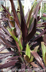 Cordyline 'Black Magic'