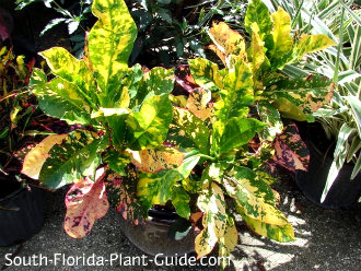 Croton 'Magnificent' in a container