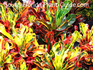 Mammy Variety With Bright Red Yellow And Green Foliage One Of The Smallest Croton Plants
