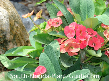 Thai hybrid crown of thorns with hot pink flowers