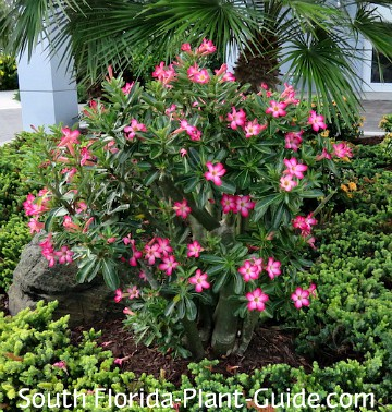 Mature Desert Rose in a garden bed