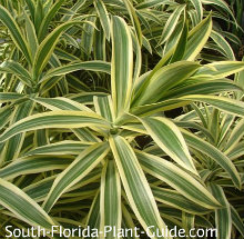 Dracaena 'Song of India'
