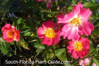 drift rose single flowers in hot pink