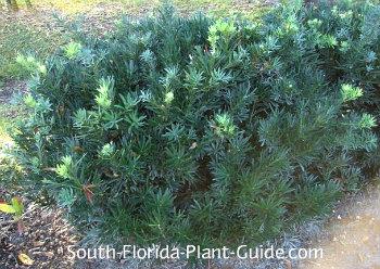 Dwarf podocarpus