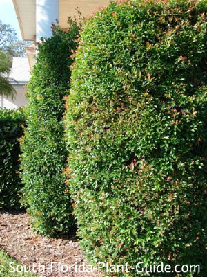 Trimmed eugenia shrubs line a front porch