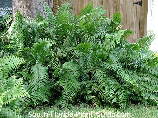 South Florida Ferns