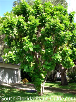 fiddle leaf fig as a front yard specimen