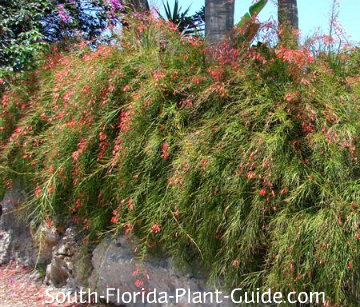 firecracker plant cascading over a low wall