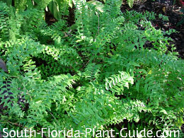 Fishtail fern