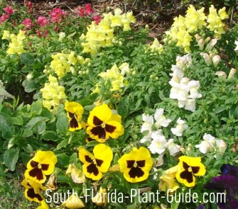 Winter Florida annuals pansies and snapdragons