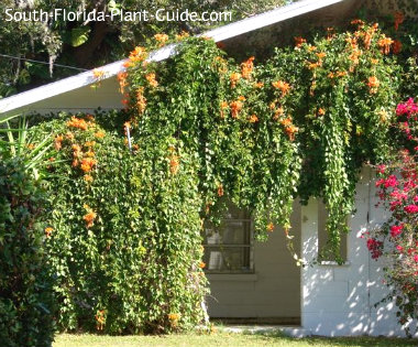 Florida flame vine cascading down the sides of a carport