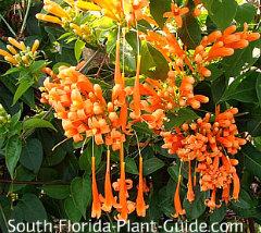 Florida Flame Vine