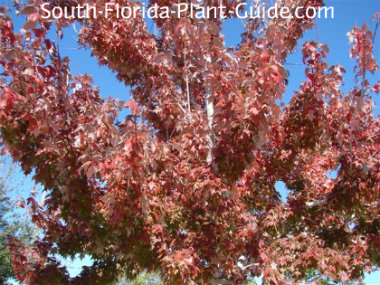 florida maple with red foliage