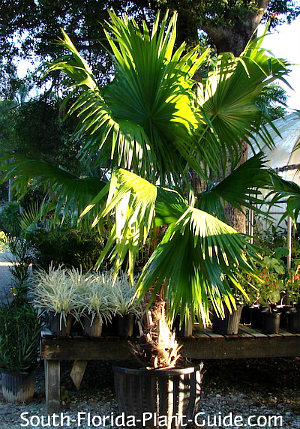 Florida thatch palm in a pot at a nursery