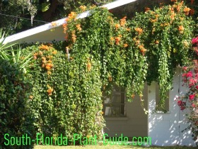 Florida flame vine draped along the carport