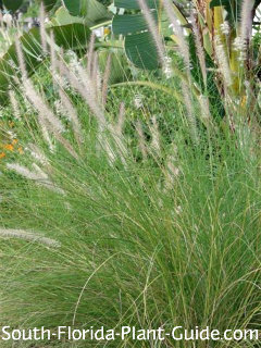 white fountain grass