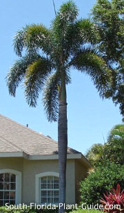 large single-trunk foxtail palm in landscape