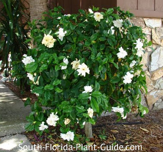 Bush blooming in partial shade