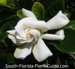 White flower of gardenia bush