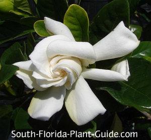 White flower of gardenia bush