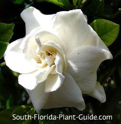 White fragrant blossom