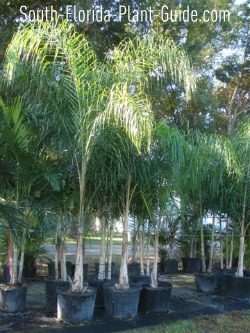 Queen palms in pots