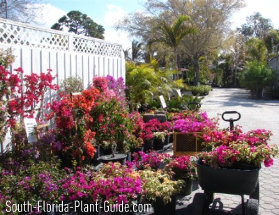 Garden center with pots of bougainvillea in bloom