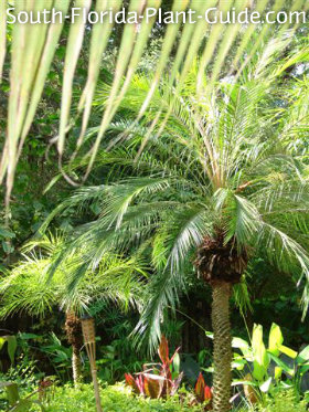 Tropical landscape with pygmy date palms