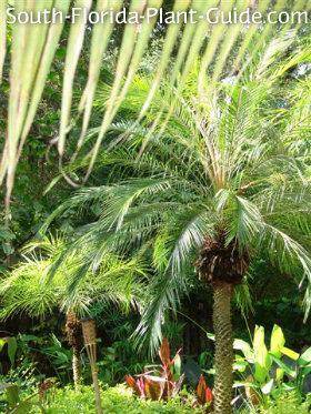 landscape of pygmy date palms