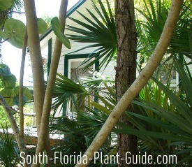 ... South Florida Gardening. Informal Tropical Landscape