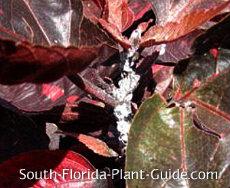 Mealybug on copper plant
