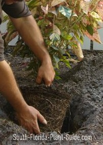 Placing a plant in the hole