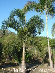 Young single foxtail palm at nursery