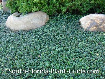 Asiatic jasmine groundcover