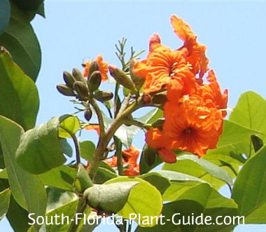 Orange geiger tree flowers and buds