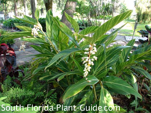 variegated ginger flowering in a landscape setting