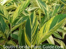 variegated ginger leaf detail