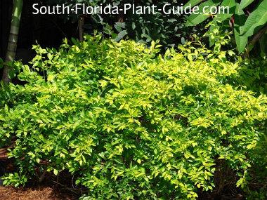 Gold mound shrub