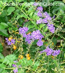 Purple flowers and gold berries